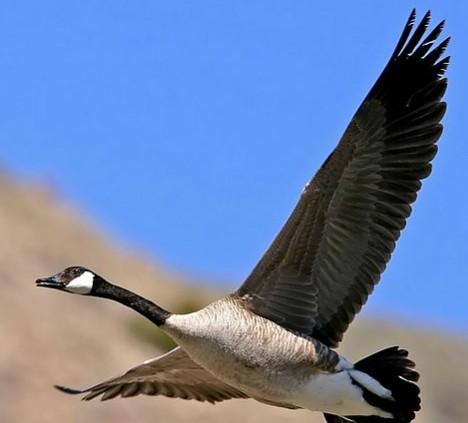 若排成人字或一字形飞,后面的大雁会很省力气,科学家发现,大雁排队图片
